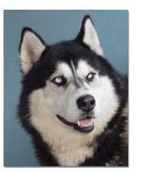 Siberian Husky Breed Profile