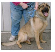 German Shepherd in shelter