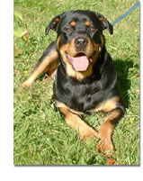 Rottweiler Breed Profile