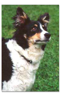 Border Collie Breed Profile
