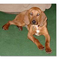 Coonhound Breed Profile