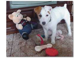 Jack Terrier with toys