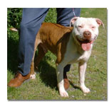 Pit Bull with owner