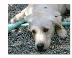 Labrador Retriever laying down