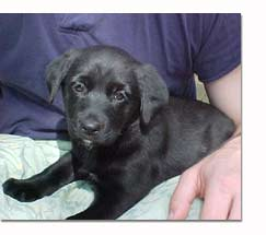 Labrador Retriever l